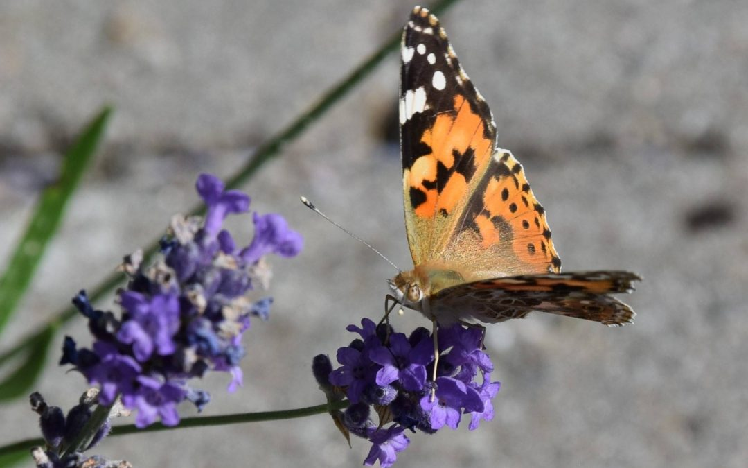 Bijen en vlinders in uw tuin !