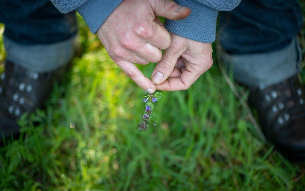 Op ontdekkingstocht naar eetbare planten in hartje Ardennen