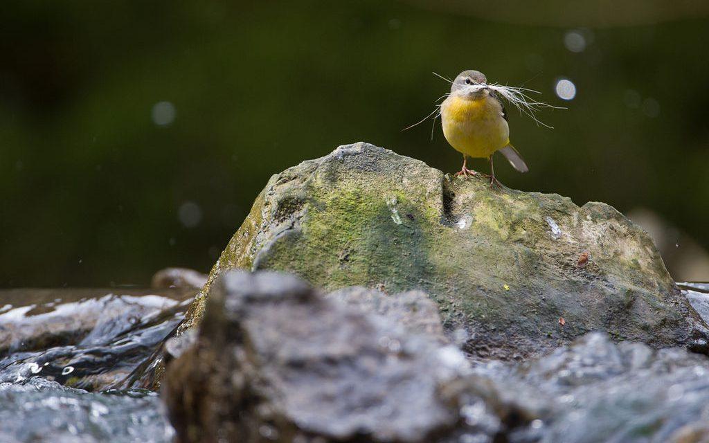 In de lente observeren we de vogels in de Ardennen!